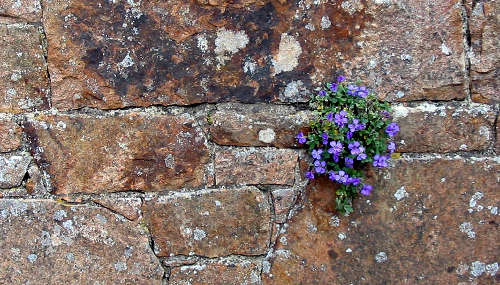 lobelia growing on a stone wall