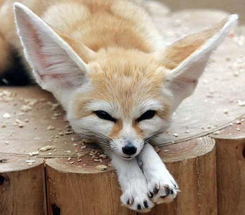 Visiting Wildlife - this one is an African Fennec Fox in The Cleveland Zoo