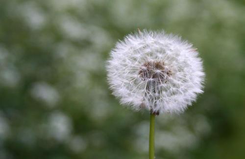 dandelion fluff ready to blow away