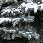 snowy dark evergreen branches