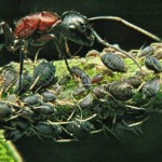 ant at work farming aphids