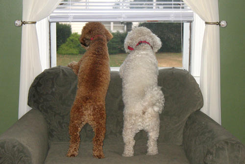 two poodles looking out a window