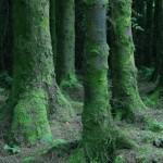 mossy tree trunks