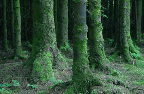 mossy tree trunks