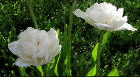 white peony tulips