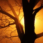 bare tree, sunset light through fog