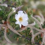 purshia - cliffrose