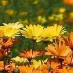 field of sunny flowers