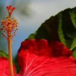 red hibiscus stamen