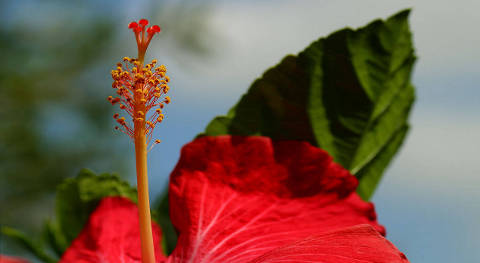 red hibiscus stamen