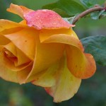 rumpled yellow rose