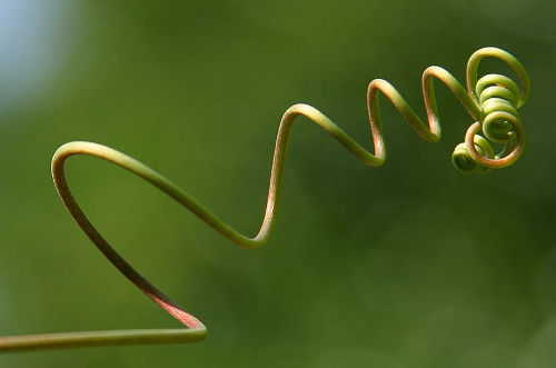 curling tendril