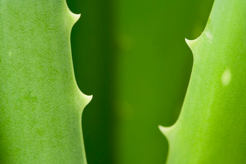 aloe vera leaves closeup