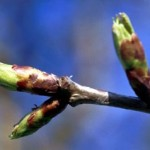 budding leaves