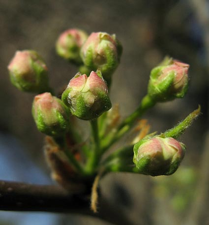 pear or apple blossoms