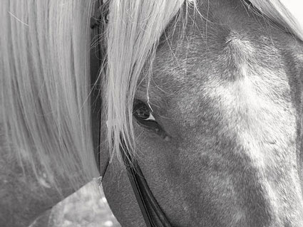 black and white horse close-up