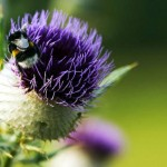 bee on thistle blossom